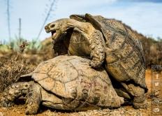 摄影师捕捉豹纹陆龟羞羞过程