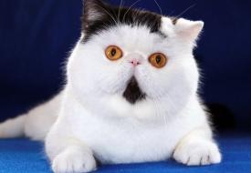 养猫猫你选纯种还是混种?
