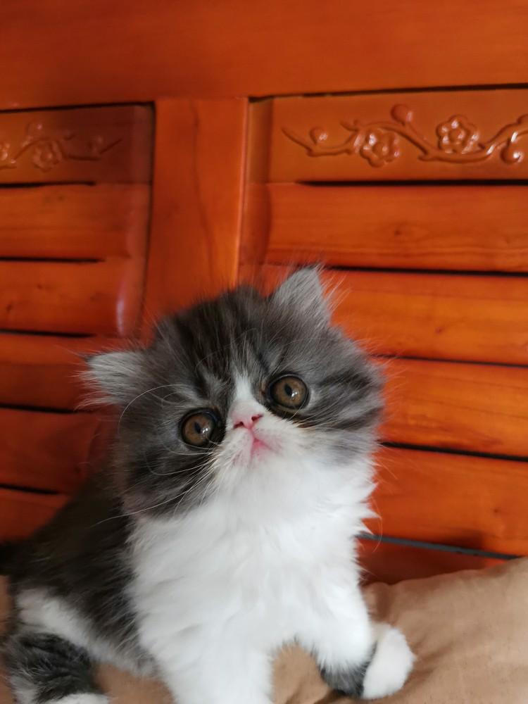自家富养加菲猫异国短毛猫剩一只最漂亮的MM可以保证同品质全网